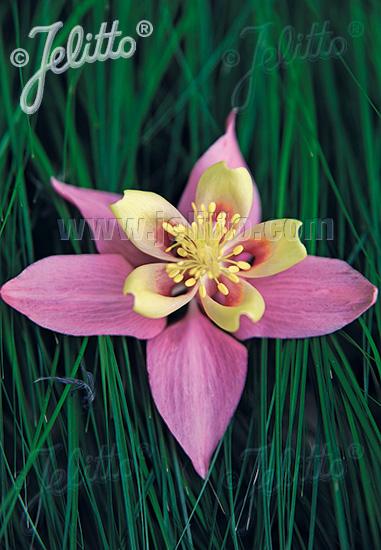 AQUILEGIA F1-Hybr. caerulea State-Series 'Oregon' Portion(s)