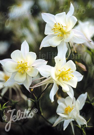 AQUILEGIA F1-Hybr. caerulea State-Series 'Alaska' Portion(s)