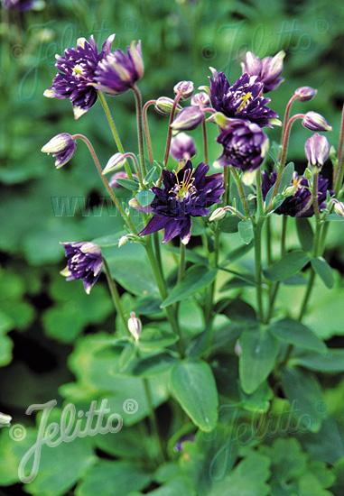 AQUILEGIA vulgaris Clementine-Series 'Clementine Dark Purple' Portion(s)