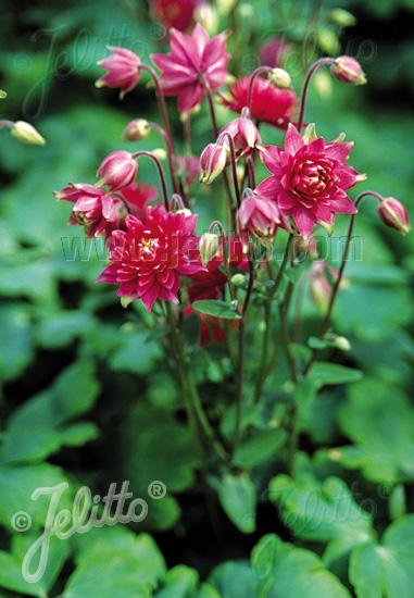 AQUILEGIA vulgaris Clementine-Series 'Clementine Red' Portion(s)