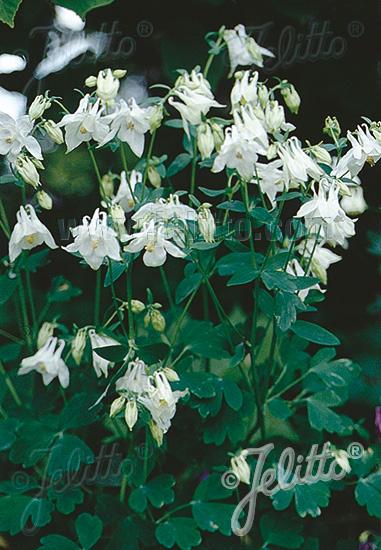 AQUILEGIA vulgaris  'Alba' Portion(s)