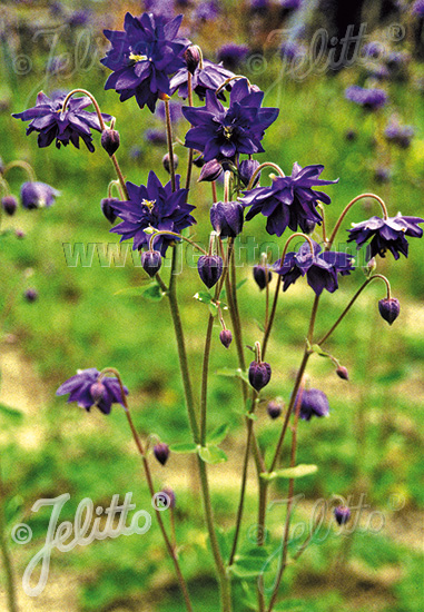 AQUILEGIA vulgaris var. stellata plena Barlow-Serie 'Blue Barlow' Portion(en)