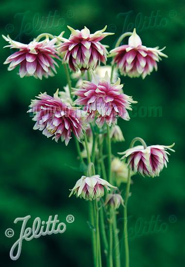 AQUILEGIA vulgaris var. stellata plena Barlow-Series 'Nora Barlow' Portion(s)