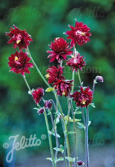 AQUILEGIA vulgaris var. stellata plena  'Ruby Port' Portion(s)