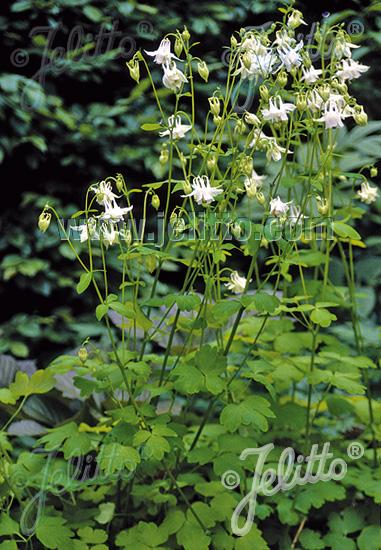 AQUILEGIA vulgaris  'Mellow Yellow' Portion(s)