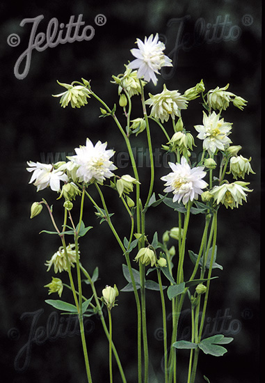 AQUILEGIA vulgaris var. stellata plena  'Green Apples' Portion(en)