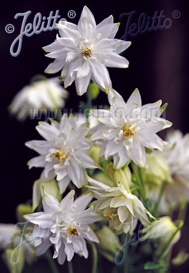 AQUILEGIA vulgaris var. stellata plena Barlow-Serie 'White Barlow' Portion(en)