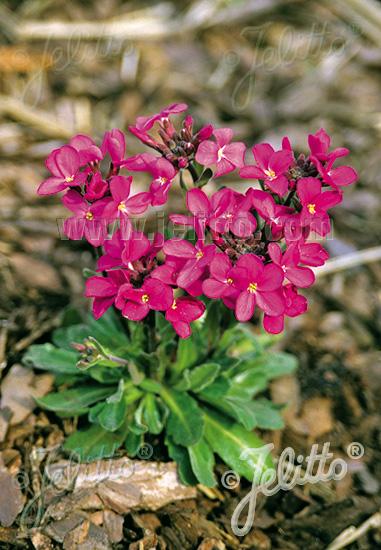 ARABIS blepharophylla  'Rote Sensation Portion(s)