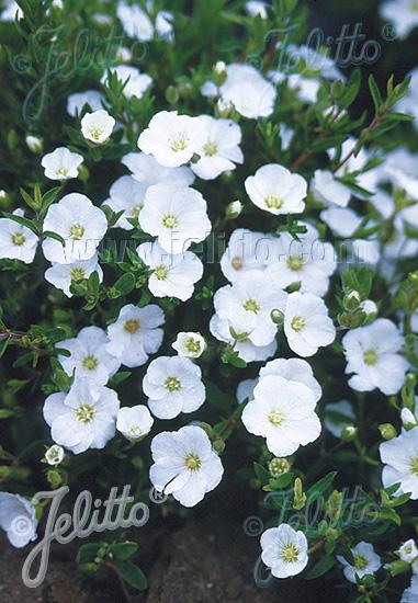 ARENARIA montana   Portion(s)