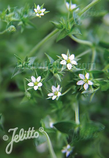 ARENARIA serpyllifolia   Portion(s)