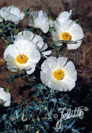 ARGEMONE polyanthemos   Portion(s)