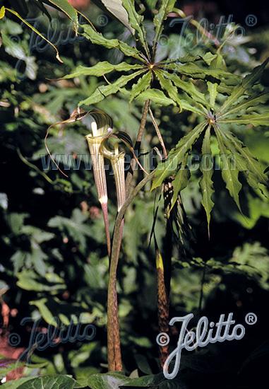 ARISAEMA consanguineum   Portion(en)