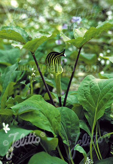 ARISAEMA triphyllum   Portion(en)