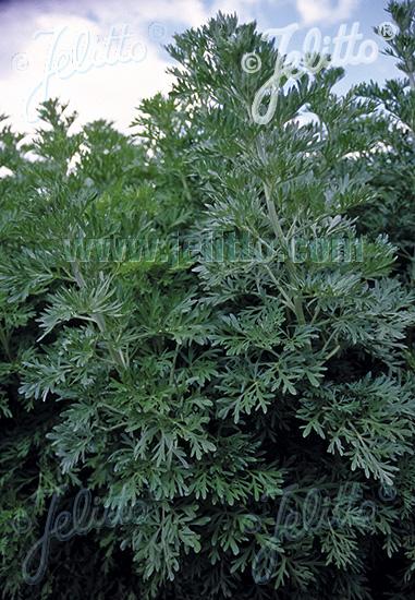 ARTEMISIA absinthium  'Silverado' Portion(s)