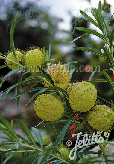 ASCLEPIAS physocarpa   Portion(en)