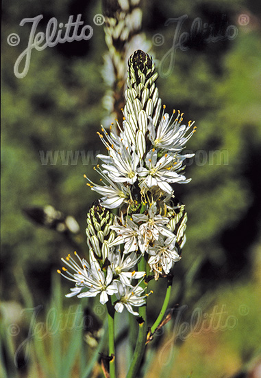 ASPHODELUS albus   Portion(s)