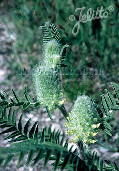 ASTRAGALUS centralpinus   Portion(en)