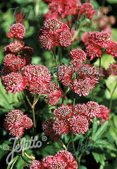 ASTRANTIA Major-Hybr.  'Rosensinfonie' Portion(en)
