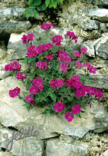 jelitto perennial seed aubrieta x cultorum 39 cascade red 39 portion s. Black Bedroom Furniture Sets. Home Design Ideas
