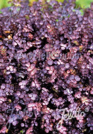 ACAENA inermis  'Purpurea' Seeds