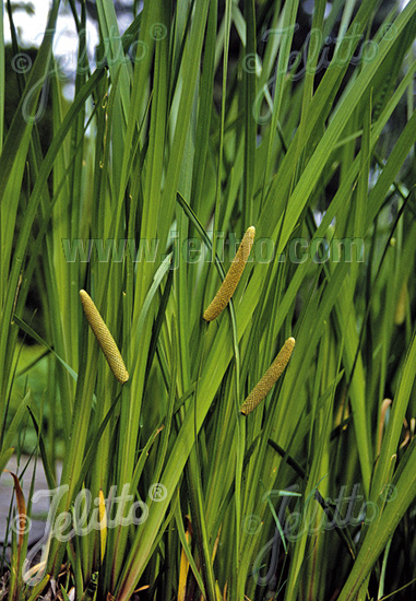 ACORUS calamus   Seeds
