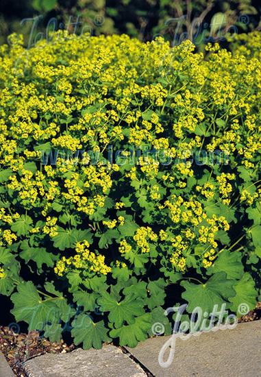 ALCHEMILLA epipsila   Seeds