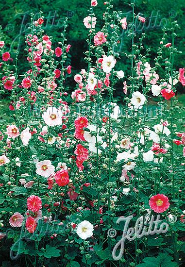 ALCEA Rosea-Hybr.  'Simplex' Seeds