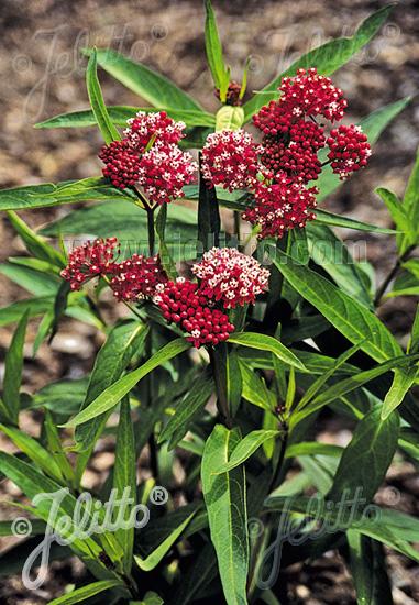ASCLEPIAS incarnata   Seeds