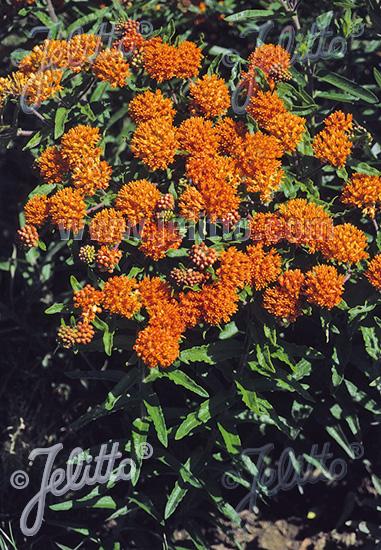 ASCLEPIAS tuberosa ssp. interior   Seeds