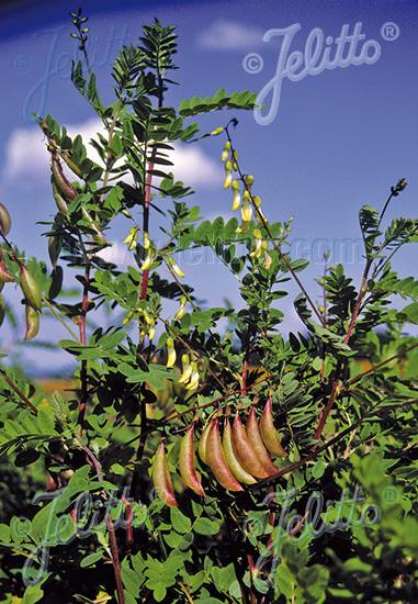 ASTRAGALUS mongholicus  'BLBP 04' Portion(en)