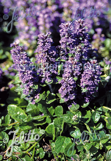 AJUGA reptans   Portion(s)