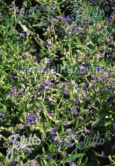 ANCHUSA officinalis   Portion(s)