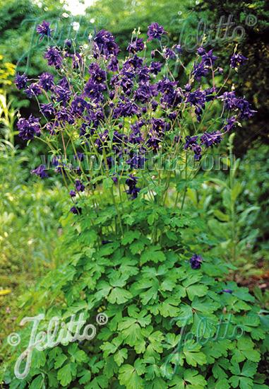 AQUILEGIA vulgaris   Portion(s)