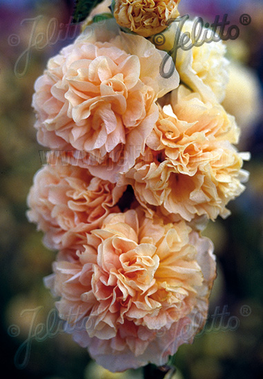 ALCEA rosea plena Chaters-Serie 'Chaters chamois' Portion(en)