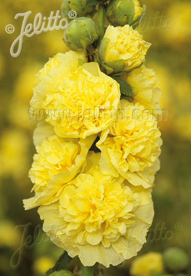 ALCEA rosea plena Chaters-Series 'Chaters yellow' Portion(s)