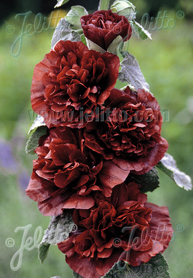 ALCEA rosea plena Chaters-Series 'Chaters chestnut-brown' Portion(s)