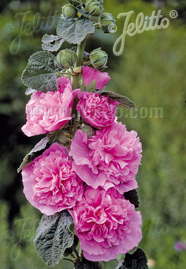 ALCEA rosea plena Chaters-Series 'Chaters pink' Portion(s)