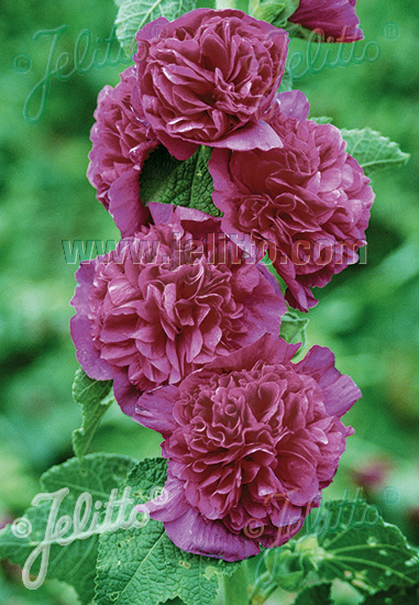 ALCEA rosea plena Chaters-Serie 'Chaters violett' Portion(en)