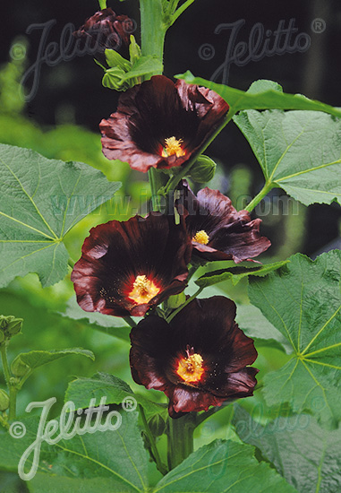 ALCEA Rosea-Hybr. Spotlight Series 'Blacknight' Portion(s)