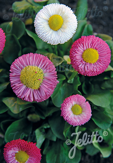 BELLIS perennis Rominette-Series 'Rominette Mixture' Portion(s)