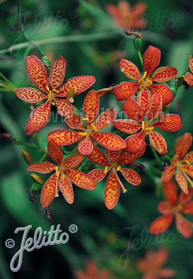 BELAMCANDA chinensis   Portion(s)
