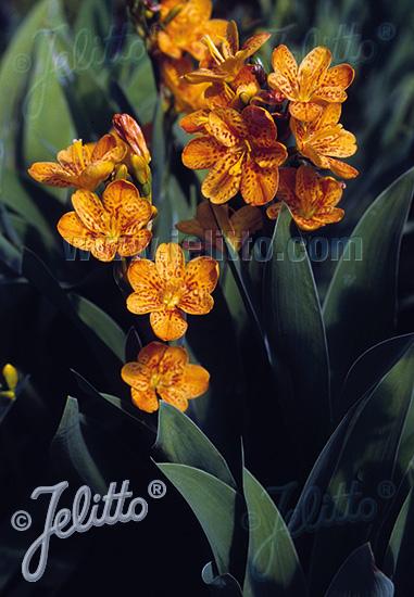 BELAMCANDA flabellata  'Hello Orange' Portion(s)