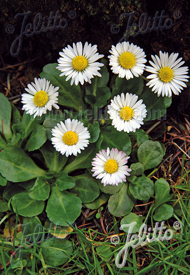 BELLIS perennis   Portion(s)