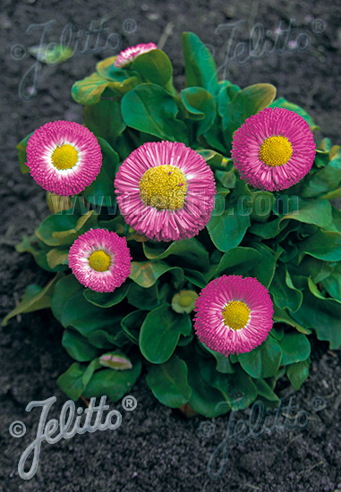 BELLIS perennis Rominette-Series 'Rominette Carmine-rose' Portion(s)