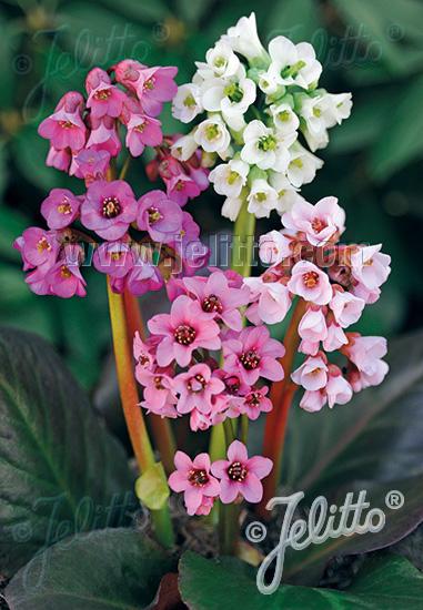 BERGENIA cordifolia  'New Hybrids' Portion(s)