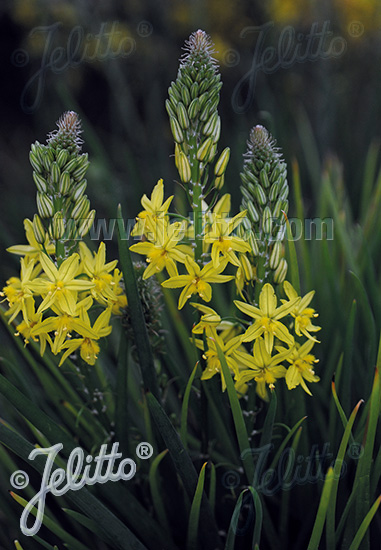 BULBINE frutescens Avera Sun Series 'Avera Sunrise Yellow' Portion(s)