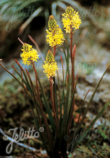 BULBINELLA angustifolia   Portion(en)
