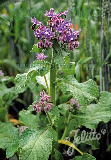 BORAGO officinalis   Portion(s)