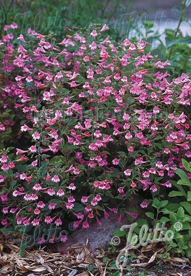 CALAMINTHA grandiflora   Portion(s)