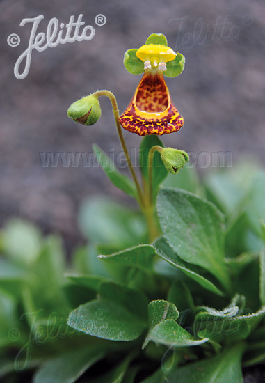 CALCEOLARIA fothergillii   Portion(s)